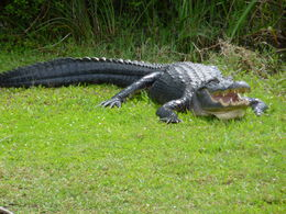 Photo of Miami Miami Everglades Airboat Adventure with Transport Alligator sitting on the side of the Everglades!