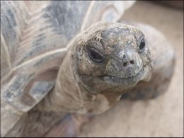 A little curiosity from a large tortoise., Jeff - March 2008