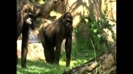 Check out the San Diego Zoo Safari Park's gorillas in their open-range habitat. - July 2011