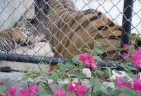 Photo of Pattaya Tiger Zoo Tour from Pattaya including Lunch