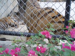 Photo of Pattaya Tiger Zoo Tour from Pattaya including Lunch Pattaya TIger Zoo
