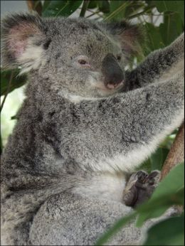 Sleepy koala, Australia icon., Jeff - March 2008