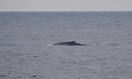 Blue whale back , Greg H - May 2013