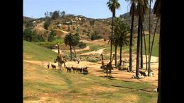 The Giraffes at the San Diego Zoo Safari Park are housed in a Savannah-esque open-range habitat. - July 2011