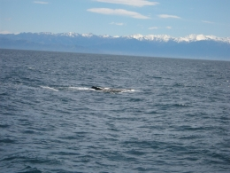 we were lucky to see this sperm whale come up, IAN M - October 2010