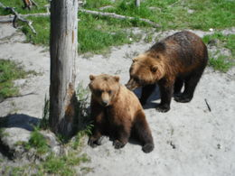 we enjoyed watching black and brown bears , eak_dent_cu - June 2015