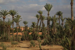 Photo of Costa del Sol 7-Day Morocco Tour from Costa del Sol: Fez, Meknes, Marrakech, Casablanca, Rabat and Tangier Palm trees in Morocco