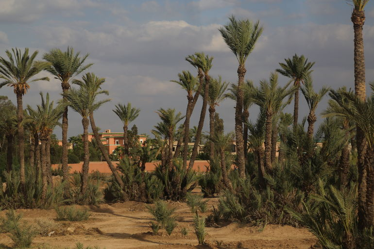 Palm trees in Morocco - Marrakech