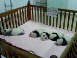 Photo of Chengdu Half-Day Chengdu Panda Breeding Center Tour with Optional Baby Panda Holding Baby Pandas
