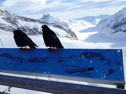 Photo of Zurich Jungfraujoch: Top of Europe Day Trip from Zurich Blackbirds on top of Jungfraujoch