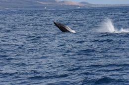 Photo of Maui Maui Whale Watch Cruise Breaching young whale