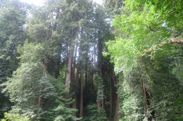 By looking at the picture, you will not be able to experience the freshness of the air in Muir Woods. It is so refreshing and cooling., Ngiap Teck T - July 2009