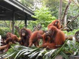 Photo of Singapore Singapore Zoo Morning Tour with optional Jungle Breakfast amongst Orangutans A DAY AT THE ZOO