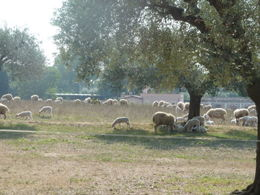 Sheep pasture at the Catacombs of St Callista , Catherine - October 2011