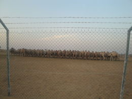 Camel Farm , Sushim D - December 2012