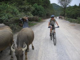 Water buffaloes joining in on the fun - May 2012