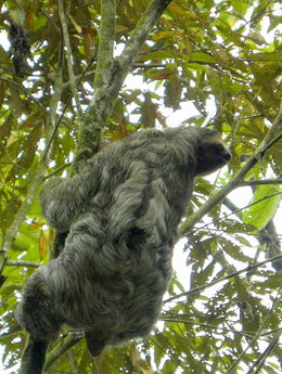 Sloth in tree close to the tram station , Britt B - May 2013