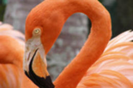 Photo of   Ardastra Gardens Flamingo