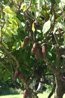 Pretty self explanatory -- a cocoa tree on the plantation. , Lauren T - January 2011