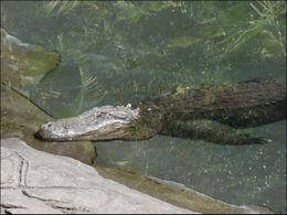 This croc is not for petting., Jeff - March 2008