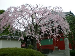 Photo of Tokyo Tokyo Tower, Tea Ceremony and Sumida River Cruise Day Tour Cherry Blossoms in Asakusa