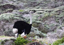 A wild male ostrich on Cape Point, near the lighthouse. , BethanieKay - April 2016