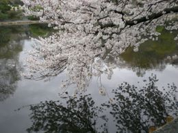 Photo of Tokyo Tokyo Tower, Tea Ceremony and Sumida River Cruise Day Tour Cherry blossom in Imperial Garden