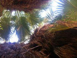 Photo of Palm Springs San Andreas Fault Small-Group Jeep Tour from Palm Springs Looking up through the palms