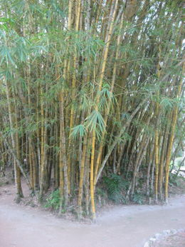 Bamboo from Asia. , Bandit - September 2011