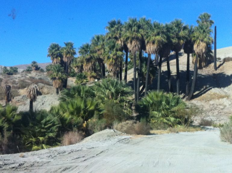Palm Trees - Palm Springs