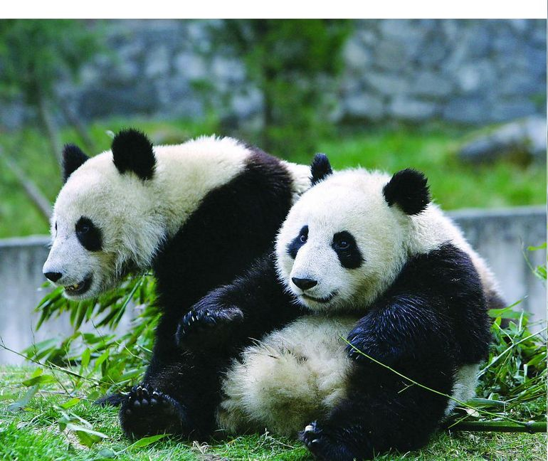 Panda Breeding Center - Chengdu