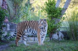 Photo of   Tiger, Disney's Animal Kingdom