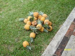 fresh picked pineapples...yummy! , Daniel M - May 2011
