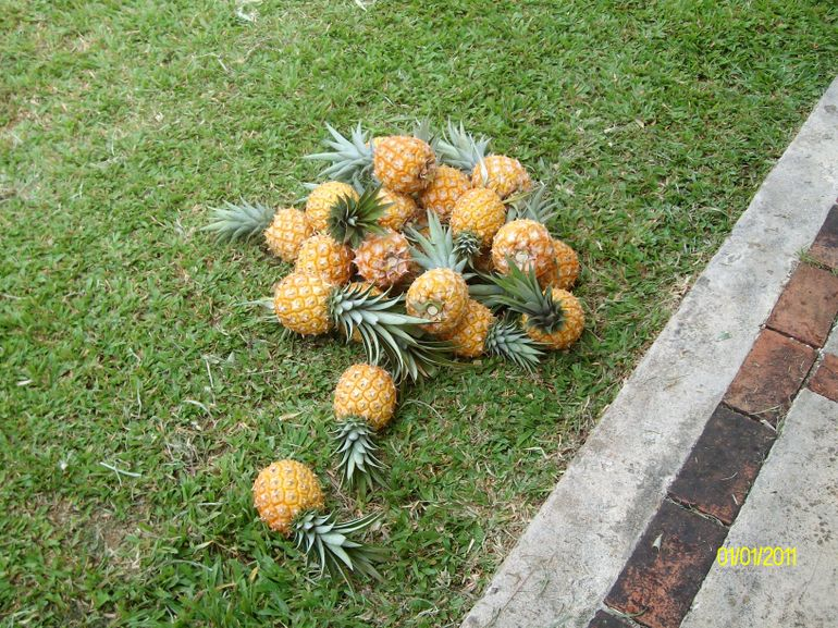 fresh picked pineapples...yummy!