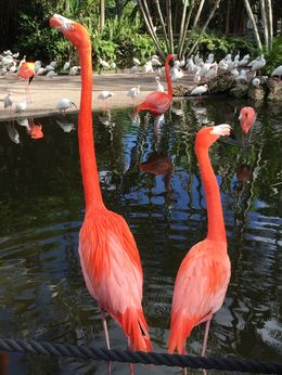Photo of Fort Lauderdale Flamingo Gardens Admission in Fort Lauderdale with Optional Wildlife Tram Ride Flamingos