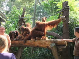 Photo of Singapore Singapore Zoo Breakfast with Orangutans Happy Orangutans