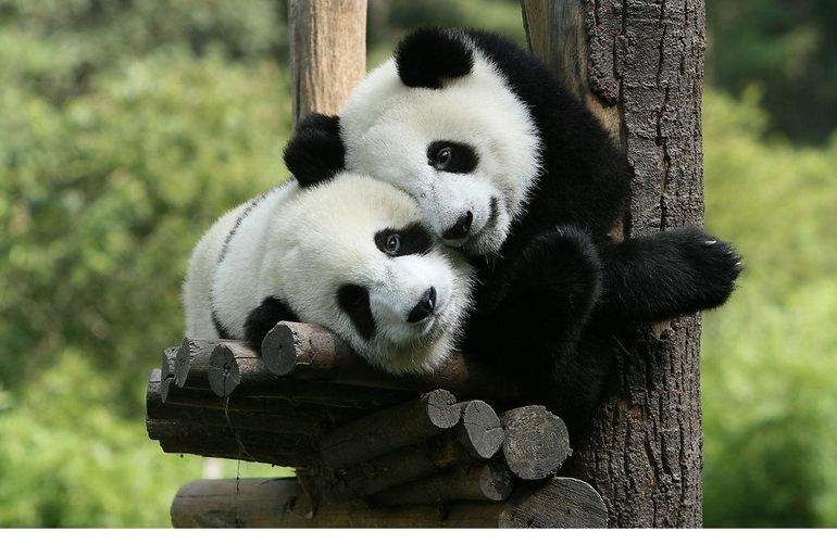 Look at these adorable pandas!
