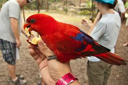 Photo of   Red Lory at Ardastra Gardens