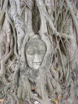 Photo of Bangkok Thailand's Ayutthaya Temples and River Cruise from Bangkok Buddha Head in Tree