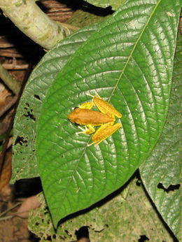 Photo of   Daintree Frog