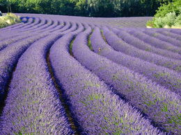 Photo of   Lavender!