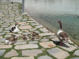 Ducks and ducklings , Krishnan Vaitheeswaran - May 2011
