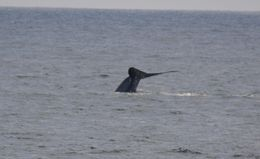 Photo of San Diego San Diego Whale Watching Expedition Cruise Blue whale (tail 3)
