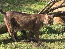Photo of Fort Lauderdale Flamingo Gardens Admission in Fort Lauderdale with Optional Wildlife Tram Ride Bobcat