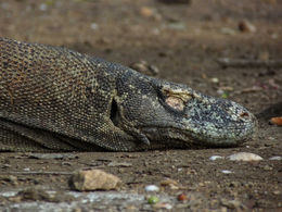 Photo of Bali 2-Day Komodo National Park and Rinca Island Wildlife Adventure from Bali Komodo Dragon