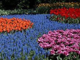 Photo of Amsterdam Keukenhof Gardens and Tulip Fields Tour from Amsterdam Tulips