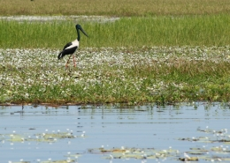 Photo of   Jabiru