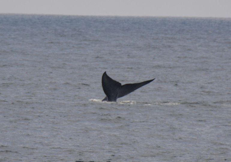 Blue whale tail 4