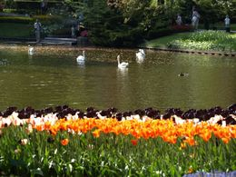 Photo of Amsterdam Keukenhof Gardens and Tulip Fields Tour from Amsterdam Tulips and Swans