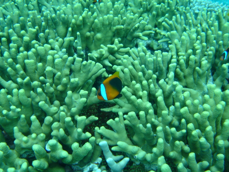 Clown Fish at the Freat Barrier Reef -